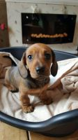 Akbash Dog Puppies for sale in Garden Grove, CA, USA. price: NA
