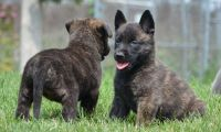 Akbash Dog Puppies for sale in Aurora, CO, USA. price: NA
