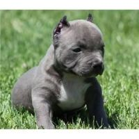Akbash Dog Puppies for sale in Berkeley, CA, USA. price: NA