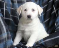 Akbash Dog Puppies for sale in Austin, TX, USA. price: NA