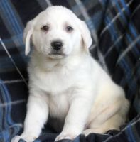 Akbash Dog Puppies for sale in New York, NY, USA. price: NA