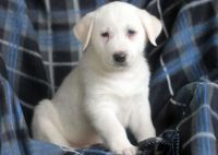 Akbash Dog Puppies for sale in Fresno, CA, USA. price: NA