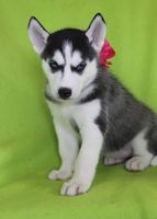 Akbash Dog Puppies for sale in Akeley, MN 56433, USA. price: NA