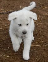 Akbash Dog Puppies for sale in Seattle, WA 98103, USA. price: NA