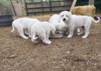Akbash Dog Puppies for sale in California St, San Francisco, CA, USA. price: NA