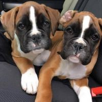 Akbash Dog Puppies for sale in Columbus, OH, USA. price: NA