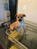 Akbash Dog Puppies for sale in Milwaukee, WI, USA. price: NA