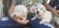 Akbash Dog Puppies for sale in Joshua, TX, USA. price: NA