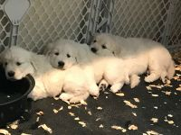 akbash dog puppies