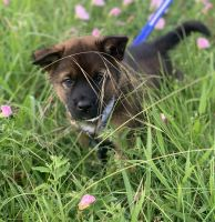 Akita Puppies for sale in Dallas, TX, USA. price: NA