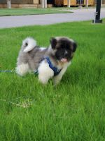 Akita Puppies for sale in Plano, TX 75075, USA. price: NA
