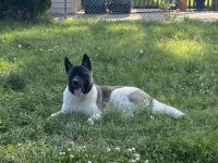 Akita Puppies for sale in Dearborn, MI, USA. price: NA