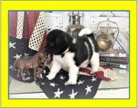Akita Puppies for sale in Parsippany-Troy Hills, NJ, USA. price: NA