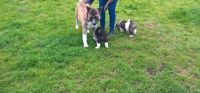 Akita Puppies for sale in Colorado Springs, CO, USA. price: NA