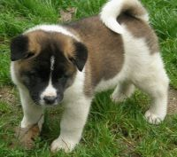 Akita Puppies for sale in Conroe, TX, USA. price: NA
