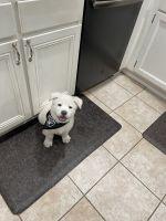 Akita Puppies for sale in Orange County, CA, USA. price: NA