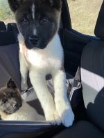 Akita Puppies for sale in Bedford, PA 15522, USA. price: NA