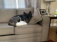 Akita Puppies for sale in Dartmouth, MA, USA. price: NA