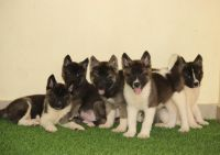 Akita Puppies for sale in Ohio City, Cleveland, OH, USA. price: NA