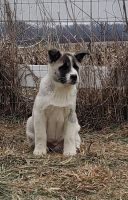 Akita Puppies for sale in Union City, OH 45390, USA. price: NA