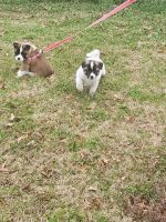 Akita Puppies for sale in Memphis, TN, USA. price: NA