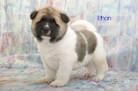 Akita Puppies for sale in Clare, MI 48617, USA. price: NA