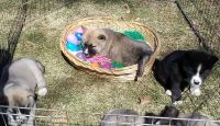 Akita Puppies for sale in Knox, PA 16232, USA. price: NA