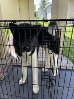 Akita Puppies for sale in Riverview, FL 33578, USA. price: NA