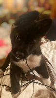 Akita Puppies for sale in Alliance, AL 35023, USA. price: NA