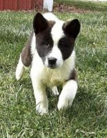 Akita Puppies for sale in Trenton, MO 64683, USA. price: NA