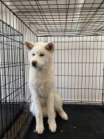 Akita Inu Puppies for sale in Azusa, CA, USA. price: NA