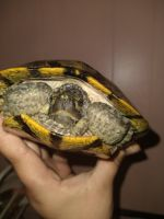 Alabama red-bellied turtle Reptiles for sale in 3200 Hale Ave, Fort Worth, TX 76106, USA. price: NA
