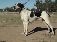 alangu mastiff dog