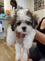Alano Espanol Puppies for sale in Bronxville, NY 10708, USA. price: NA