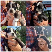 Alapaha Blue Blood Bulldog Puppies for sale in Moville, IA 51039, USA. price: NA