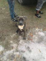 Alapaha Blue Blood Bulldog Puppies for sale in 1514 Powell St, Bainbridge, GA 39817, USA. price: NA
