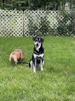 Alaskan Husky Puppies for sale in Batavia, IL, USA. price: NA