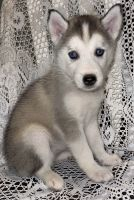 Alaskan Husky Puppies for sale in Fort Smith, AR, USA. price: NA