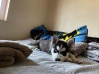 Alaskan Husky Puppies for sale in 5500 Confetti Dr, El Paso, TX 79912, USA. price: NA