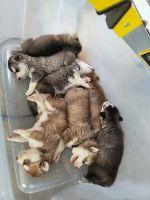 Alaskan Husky Puppies for sale in Pinon Hills, CA 92372, USA. price: NA