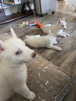 Alaskan Husky Puppies for sale in Compton, CA, USA. price: NA