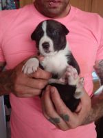 Alaskan Husky Puppies for sale in St. George, UT, USA. price: NA