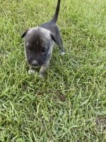 Alaskan Husky Puppies for sale in Bainbridge, GA, USA. price: NA