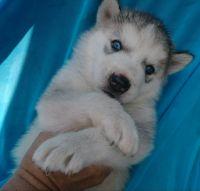 Alaskan Husky Puppies for sale in Aguanga, CA 92536, USA. price: NA