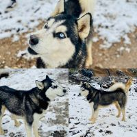 Alaskan Husky Puppies for sale in Marble Falls, TX 78654, USA. price: NA