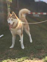 Alaskan Husky Puppies for sale in Cleburne, TX, USA. price: NA