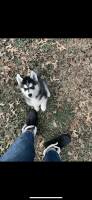 Alaskan Husky Puppies for sale in Jeffersonville, IN, USA. price: NA