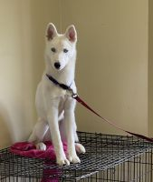 Alaskan Husky Puppies for sale in Bronx, NY, USA. price: NA