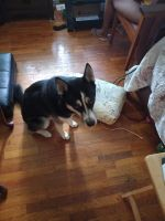 Alaskan Husky Puppies for sale in Bloomfield, CT, USA. price: NA