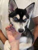 Alaskan Husky Puppies for sale in Nashua, NH 03060, USA. price: NA
